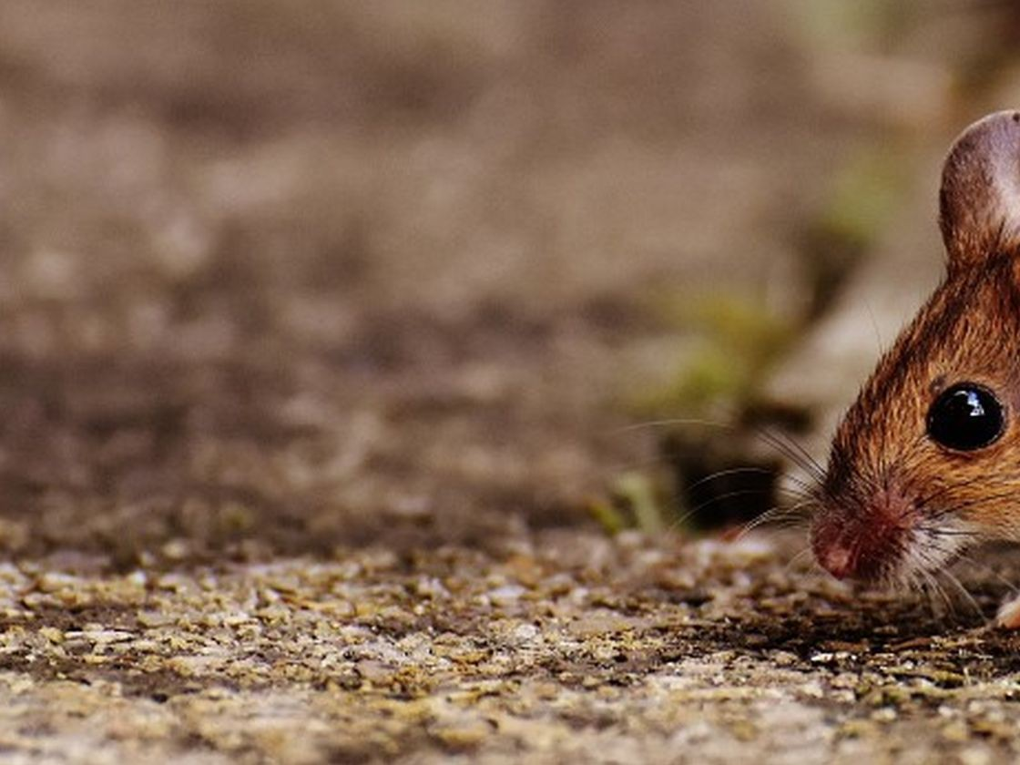 Destructeur de souris